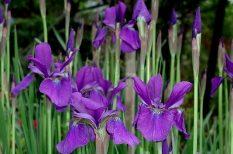 Botanikus Kert, írisz, kirándulás, nőszirom, Pécs, szabadidő