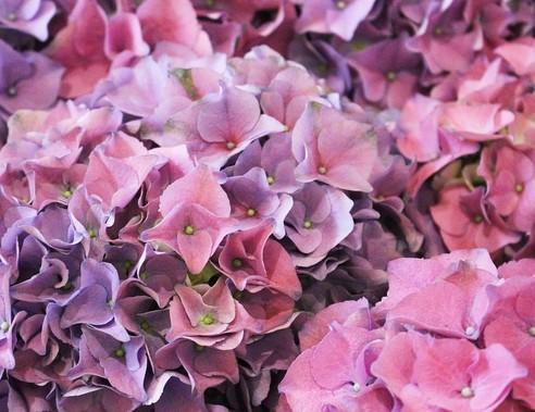 Rózsaszín horteniza, Kép: pixabay