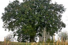 az év fája, szavazás, természet, természetvédelem, verseny
