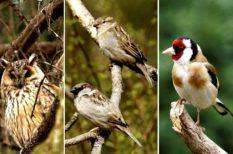 bagoly, élőhely, év madara, madár, szavazás, természetvédelem, veréb