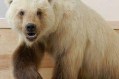 csökkenő jégtakaró, hibrid, jegesmedve, kereszteződés, klímaváltozás, rizzly, új medvefaj