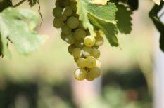 bor, borfajták, Bujdosó Pincészet, szőlő, szőlőbirtok, szüret