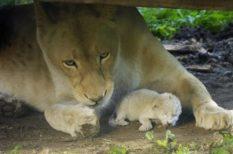 állat, Nyíregyházi Állatpark, oroszlán, ritkaság, születés