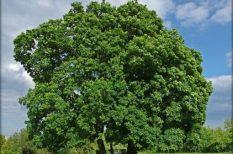 az év fája, környezetvédelem, szavazás, természet