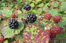 áfonya, erdei gyümölcs, málna, ősz, szeder