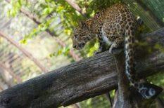 állatkert, élőhely, fajfenntartás, leopárd, szaporodás