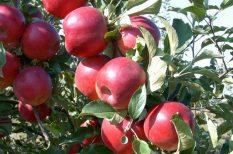 alma, faiskola, hagyományos ízek, Jonatán, savanykás ízvilág