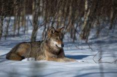 állatvédelem, élőhely, farkas, nemzeti park, videó, WWF
