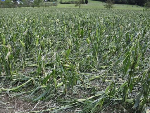 égverte kukorica, Kép: wikimedia