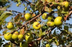 alma, az év fája, szavazás, verseny