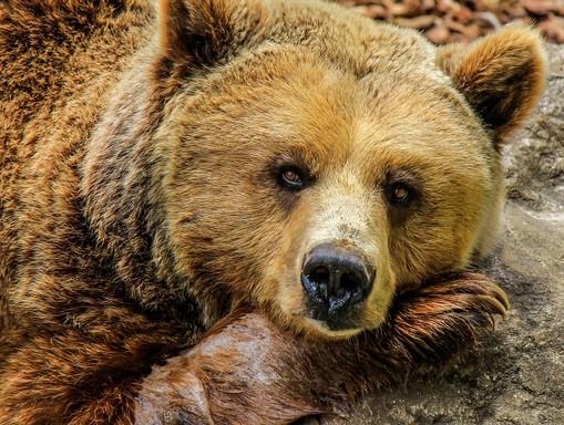 Medvefej, Kép: pixabay
