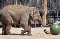 Asha, Bálint-nap, csók, elefánt, Fővárosi Állat- és Növénykert