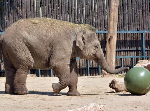 Asha az elefánt bébi, Kép: Állatkerti Alapítvány