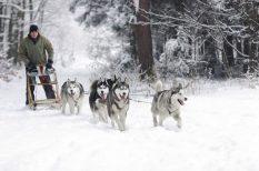 Alaszka, Balogh Ottó, kutya, szánhúzó, verseny
