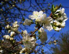 fagykár, kertészet, rügyvizsgálat, tavasz, tél, termés