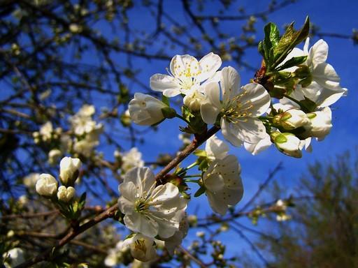 Virágzó meggyfa, Kép: sajtóanyag