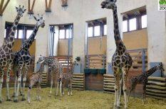 egészséges, Fővárosi Állat- és Növénykert, látogatható, rekord, újszülött, zsiráf