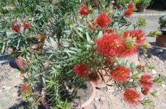 Botanikus Kert, cserjék, PTE, tavasz, trópusi növények, virág