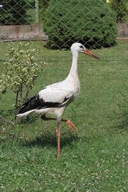 Fiatal felnőtt gólya, Kép: MTE