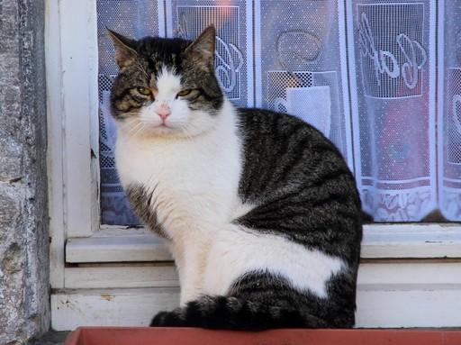 Házi macska, Kép: pixabay