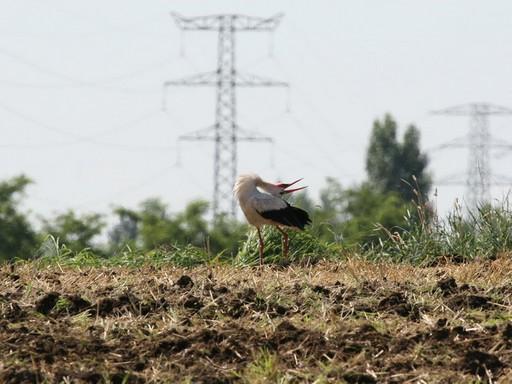 Kelepelő gólya, Kép: MTE