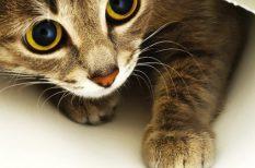 állatorvos, felmérés, gazdi, macska, stressz, szokatlan viselkedés