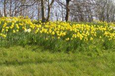 anglia, nárcisz, tavasz, virág