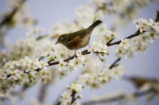 költés, madár, madárvédelem, MME, szaporodás, tavasz