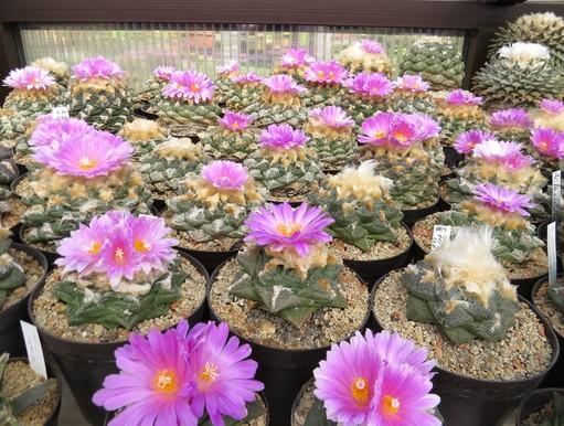 Lila kaktuszvirágok, Kép: Füvészkert