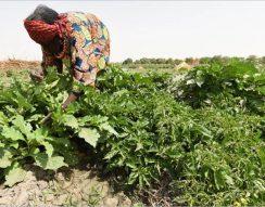 afrikai padlizsán, élelmiszersegély, Észak-Nigéria, FAO, fogtisztítás, menekültek, vetőmag