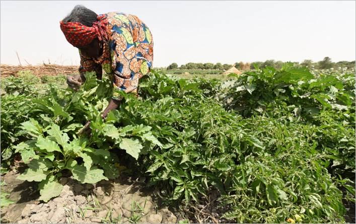 Nigériai asszony dolgozuik a földeken, Kép: FAO / Pius Utomi Ekpei