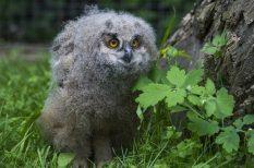 fülesbagoly, Magyar Madártani és Természetvédelmi Egyesület, uhufióka, védet madár, veszprémi állatkert