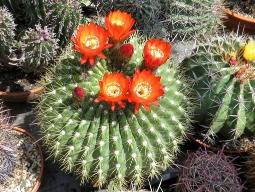 Virágzó kaktusz, echinopsis-bruchii, Kép: Füvészkert