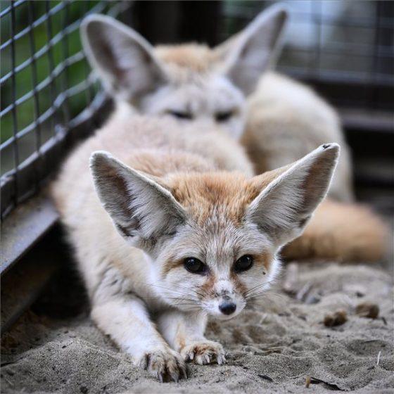 Sivatagi rókák MTI Fotó: Czeglédi Zsolt