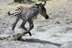 állat, állatkert, Fővárosi Állat- és Növénykert, születés, zebra