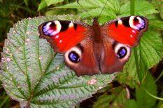 bab, Fővárosi Állat- és Növénykert, hernyó, lepke, nappali pávaszem, pillangó