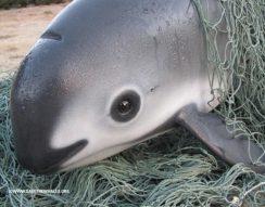 kopoltyúháló, siker, totoaba hal, úszóhólyag, vaquita, WWF