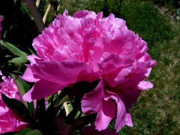 Pünkösdi rózsa Kép: Pixabay