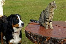 betegségek, bolha, fertőzés, kullancs, kutya, macska
