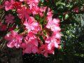 kártevők, kert, kertészet, leander, növény, virág