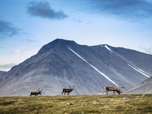 Lappföld rénszarvasokkal, Kép: Fjällräven