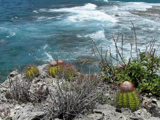 Karib-tenger kaktuszai, Kép: Gömböc kaktusz, Kép: Magyar Kaktuszgyűjtők Országos Egyesülete