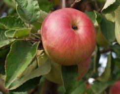 alma, magyar termék, ősz