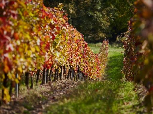 Őszi szőlőültetvény a Dél-Balatonon, Kép: Furmint Photo