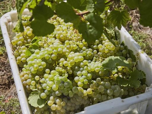 Kádban a szőlő a Dél-Balatonon, Kép: Furmint Photo