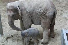 bébi, borjú, elefánt, keresztelő, látogatás, szavazás, újszülött