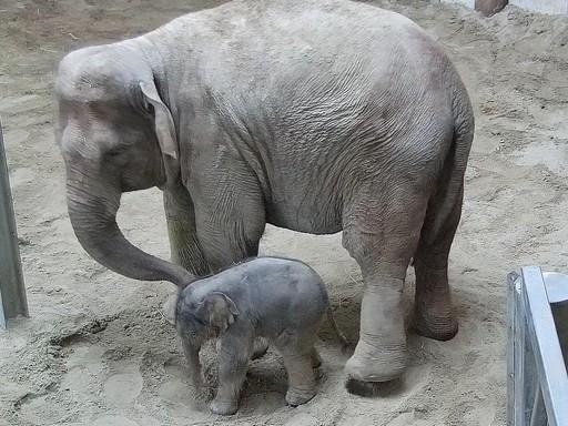 Kiselefánt született, Kép: Fővárosi Állat- és Növénykert