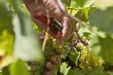 2017-es évjárat, borászat, Dél-Balaton, kóstoló, márton nap, pincészetek, újbor