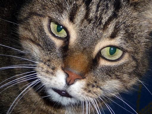 Cirmos cica közeli, Kép: pixabay