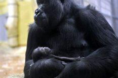 bébi, Fővárosi Állat- és Növénykert, gorilla, újszülött